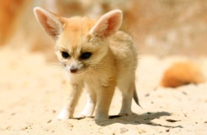 Fennec foxes have large ears to release heat.