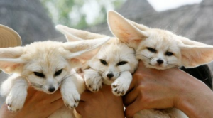 Fennec foxes are snuggly 20% of the time.
