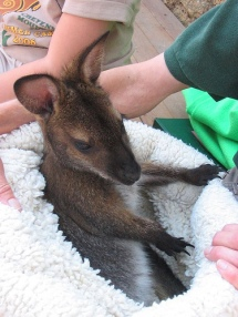 wallaby-20baby-20cute